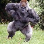 gorilla_ozzie_chestbeating_ZA_0008