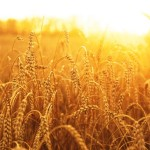 wheat-shutterstock